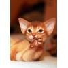 Клубные абиссинские котята