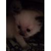 Клубные невские маскарадные котята