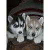 Клубные щенки Сибирской Хаски