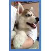 Клубный щенок Сибирской Хаски возраст 2 месяца-девочка