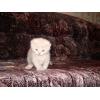 Клубный шотландский вислоухий котенок,  м. Ясенево.