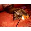 Кот буриянец хочет вязки