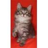 Котенок породы Курильский бобтейл редкого окраса