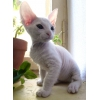 Котик - донской сфинкс - 2 месяца
