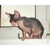 Котята  донского сфинкса из питомника
