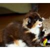 Котята мейн куны из питомника