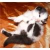 котята породы селкирк-рекс
