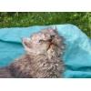 котята селкирк рексы(кудрявые британцы)
