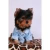 Красивый щенок мальчик йоркширского терьера!  Питомник йоркширских терьеров Москва