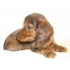 Кроличьей и миниатюрной длинношерстной таксы щенки