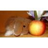 Кролик карликовый баран.