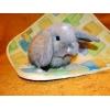 Кролик карликовый баран изабелловый