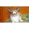 Кролики простые карликовые