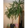 Крупная пальма Юкка 1, 80м