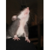 крысята Дамбо (мальчишки)