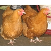Куры,  цыплята,  инкубационное яйцо разных пород