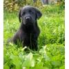 Лабрадор-ретривер - милый черный малыш