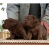 Лабрадор-ретривер (все окрасы)  щенки