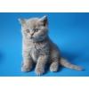 Лиловые британские котята питомник Микаэлла