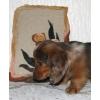 Миниатюрной длинношерстной таксы щенок