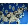 Мопсики - щеночки к Новому Году!