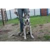 Найдена собака сибирский хаски