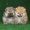 Недорого продам щенков померанского шпица