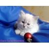 Невские маскарадные котята от Чемпиона Мира!