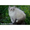 Невские маскарадные котята разных возрастов