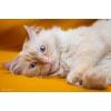 Невский маскарадный кот Амадеус - красавец и умница с интересным характером!