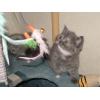 Очаровательный британский котенок,  Ясенево.
