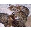 очень красивое экзотическое TICA Зарегистрированные саванны (F1,  F2,  F4)  и сервала котята на продажу