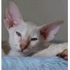 ориентальные котят питомника Sambela