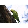 Ожереловый попугай птинец