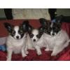 Папийоны (фален)  продаём щенков