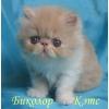 Персидская кошечка редкого окраса