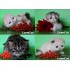 Персидские и экзотические котята из питомника Lumicat