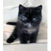 Персидские и экзотические плюшевые котята