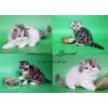 Персидские кошки из питомника.
