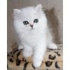 Персидские кошки,  серебристые  шиншиллы.  Котята