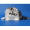 Персидские котята.