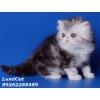 Персидские котята и экзоты-продажа.