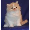 Персидские котята лучший подарок