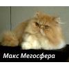 Персидский котик - роскошный красавец!