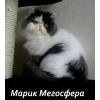 Персидский котик Марик
