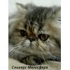 Персидский котик Сникерс