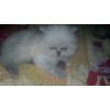 Персидский шиншилловый котенок,  2 мес. ,  сзао