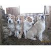 Перспективные щенки среднеазиатской овчарки (алабая)
