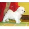 Питомник миниатюрных собачек Астра Люкс
