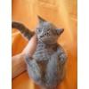 Питомник Ольги Барсуковой.  Британские котята голубые и лиловые